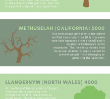 world-oldest-trees-infographic-galleryr